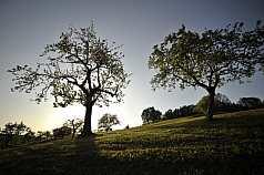 Wiese mit Bäumen bei Sonnenuntergang