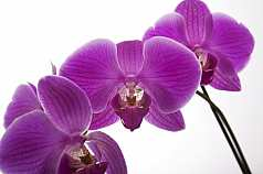 Orchidee vor weißem Hintergrund
