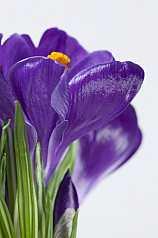 violette Krokusse (Crocus) Schwertliliengewächs (Iridaceae)