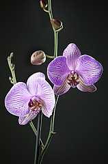 Orchidee vor schwarzem Hintergrund
