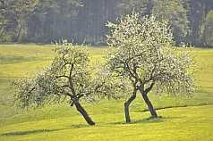 blühende Obstbäume auf einer Wiese