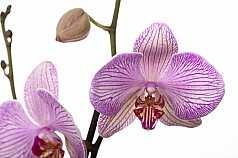 Orchidee vor weissem Hintergrund