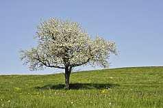Wiese mit blühendem Baum