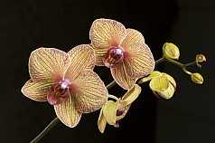 Orchidee, Phalaenopsis