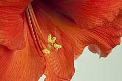 Amaryllis Amaryllidaceae (Amaryllisgewächse)